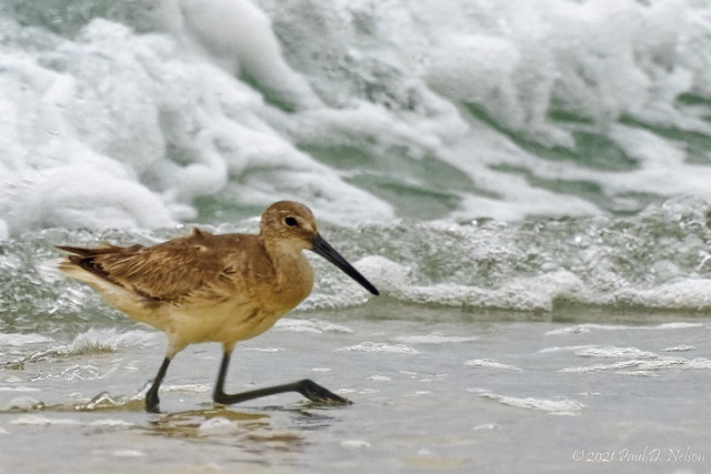 _PDN0448_Willet; Navarre Beach, Florida