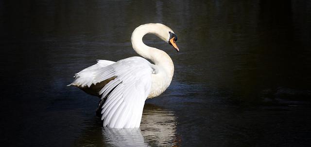 swan at the morning gymnastics