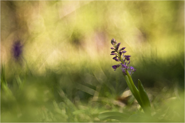 IMG_5705  - trioplan 100mm f 2,8 --  orchis mascula - web -