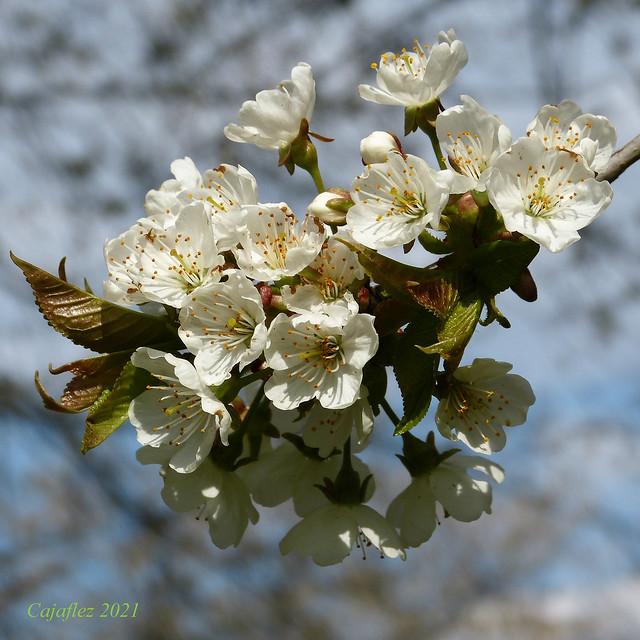 Kersenbloesem - Cherry blossom