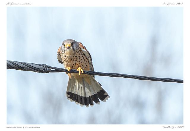 Le faucon crécerelle