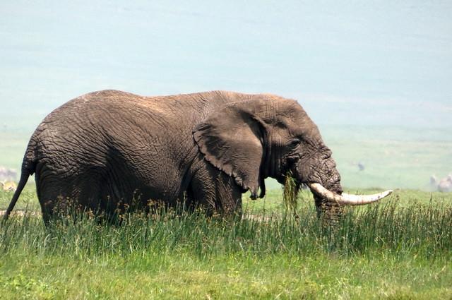 The Lone Bull Elephant