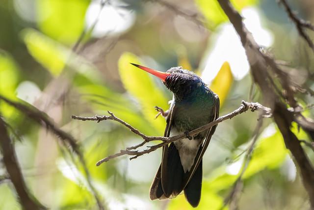 Broad-billed Hummingbird Mid-scratch