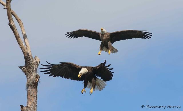 Bald Eagle Pair - Explored.