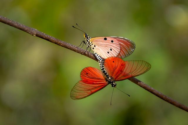 Acraea dammiiButterfly
