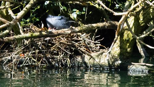 Coot chicks, recemty hatched, half-hidden