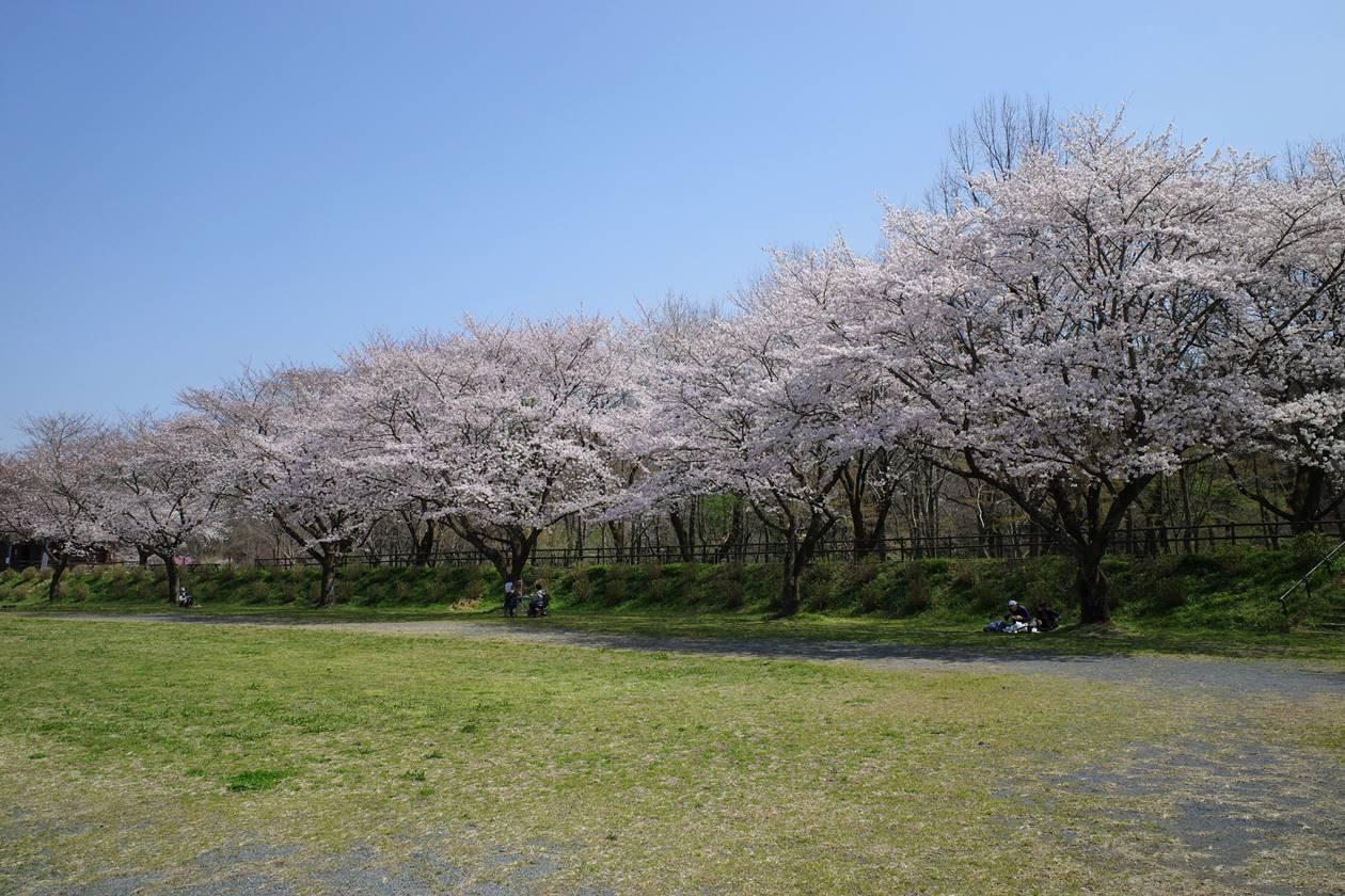 巾着田の桜並木