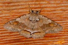 Oblique Zale Moth