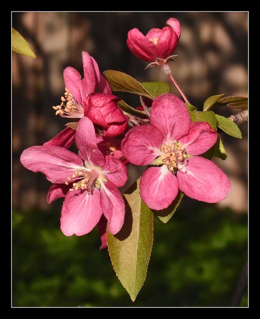 My Crabapple Tree is in Full Bloom