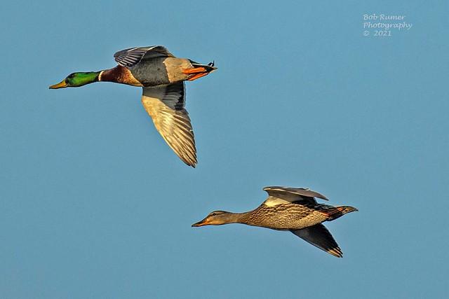 Ducks Mallard Pair.