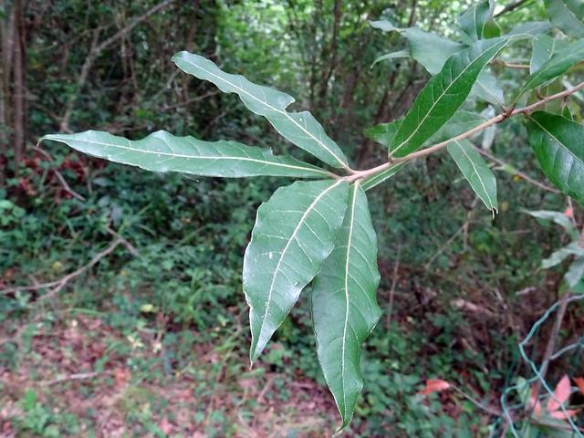 Quercus crispifolia Trel. 1924 (FAGACEAE).