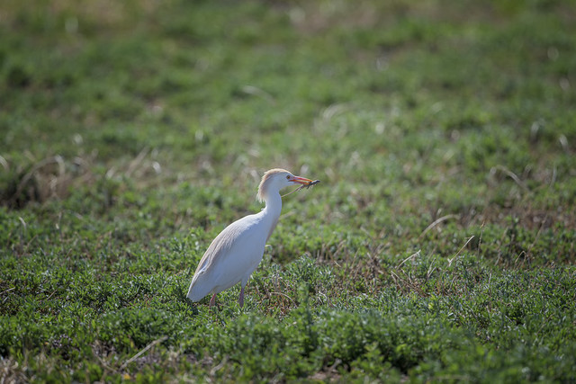 Cattle Egret Bulbulcus Ibis with a Lizard in Mouth at Los Poblanos Fields Open Space Albuquerque