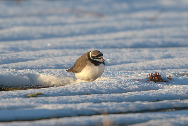 Common Ringed Plover, Burntisland, Fife
