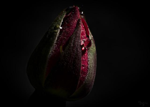 las rosas, rojas