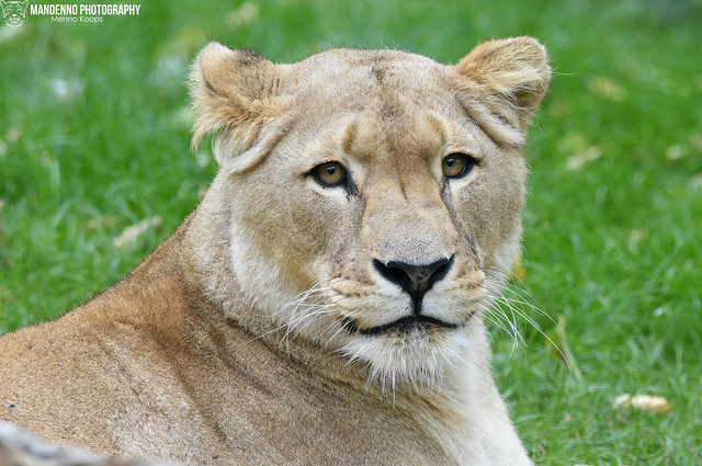 African lioness - Zoo Heidelberg