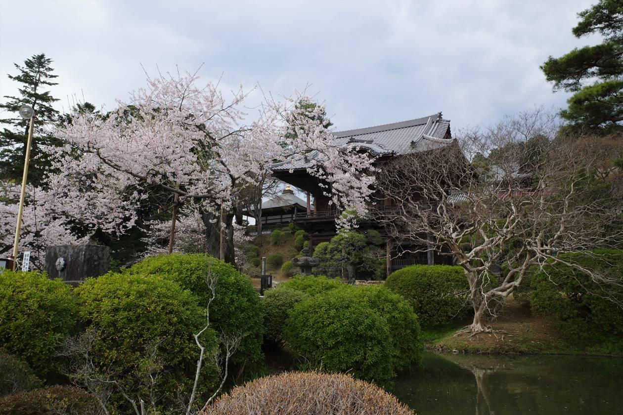聖天院の桜