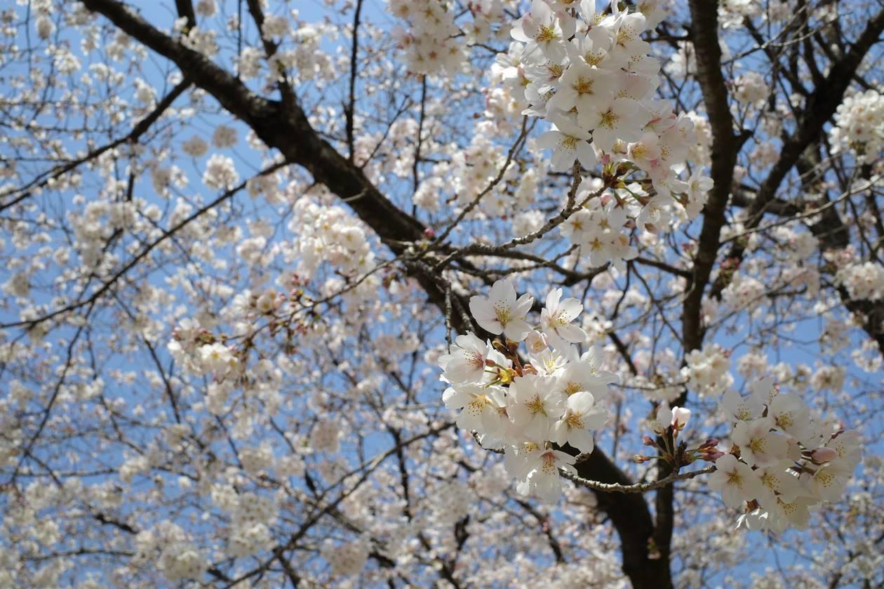 巾着田の桜