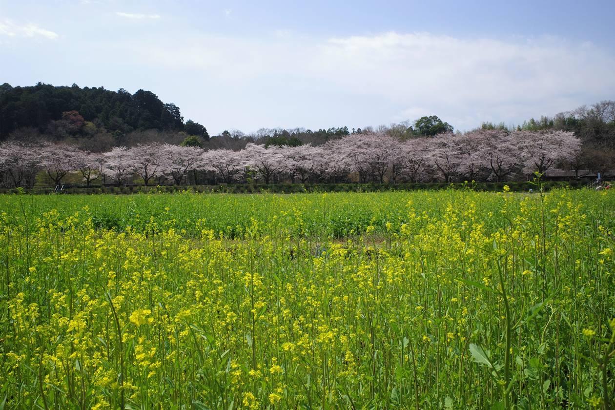 巾着田の桜並木と菜の花