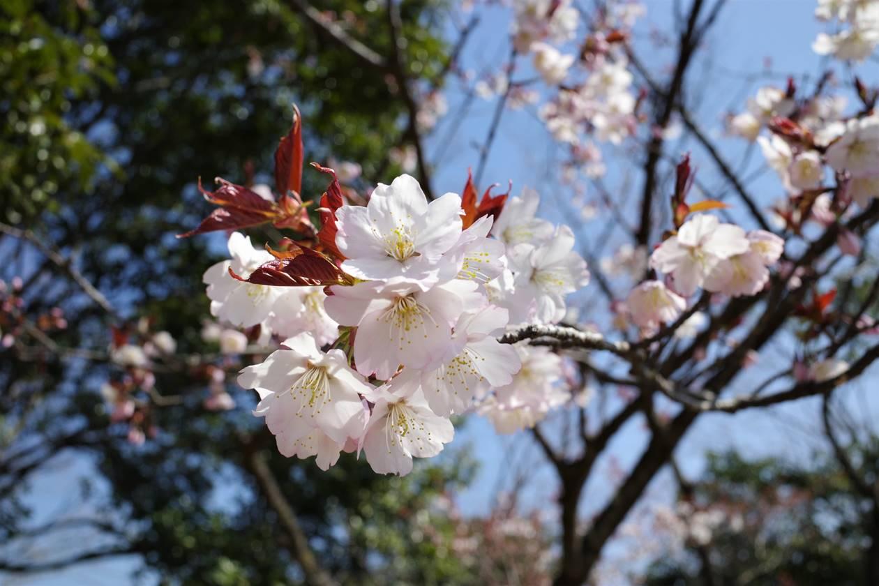 多峯主山山頂の桜