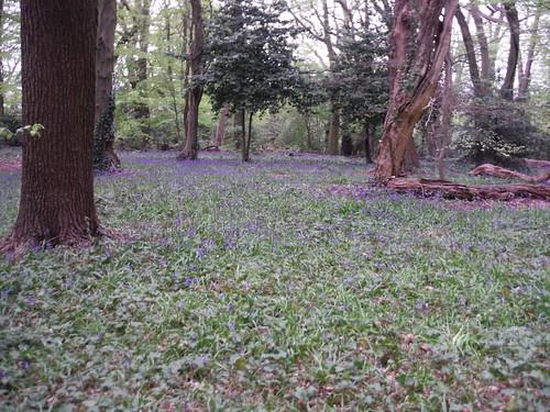 Bluebells in Highgate Wood SWC Short Walk 49 - Highgate Wood and Queen's Wood