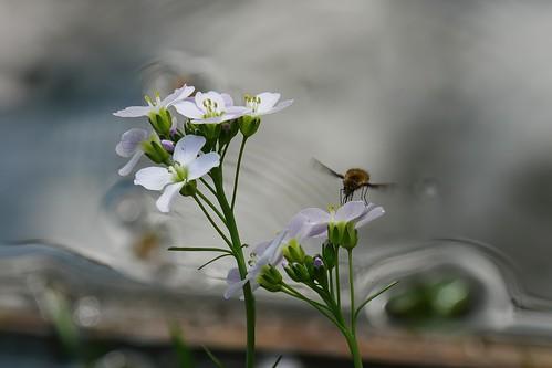 Wollschweber an weißer Blüte