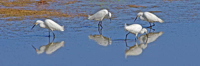 Snowy Egrets at Bosque del Apache National Wildlife Refuge, New Mexico, USA.