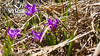 Spring Dwarf Iris Virtual background