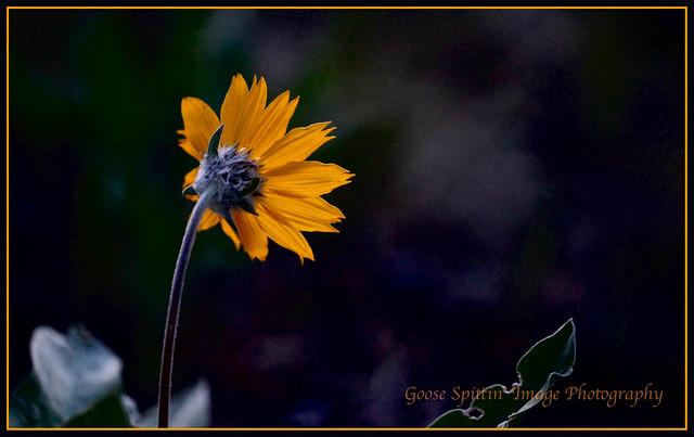 Evening Bloom