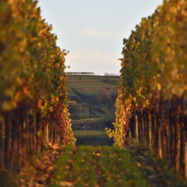 between vines
