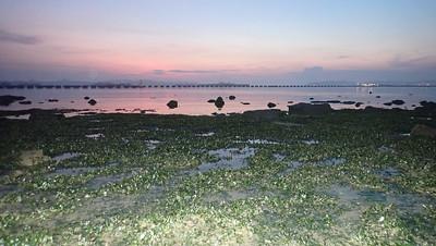 Living seagrass meadows at Pasir Ris Park, Apr 2021