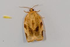 Broken-banded Leafroller Moth