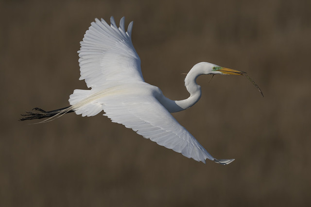 Great Egret with a small stick for its nest