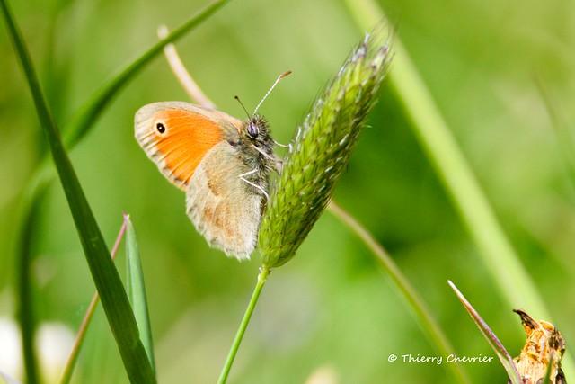 Procris (Coenonympha pamphilus)_5886s_Thierry Chevrier
