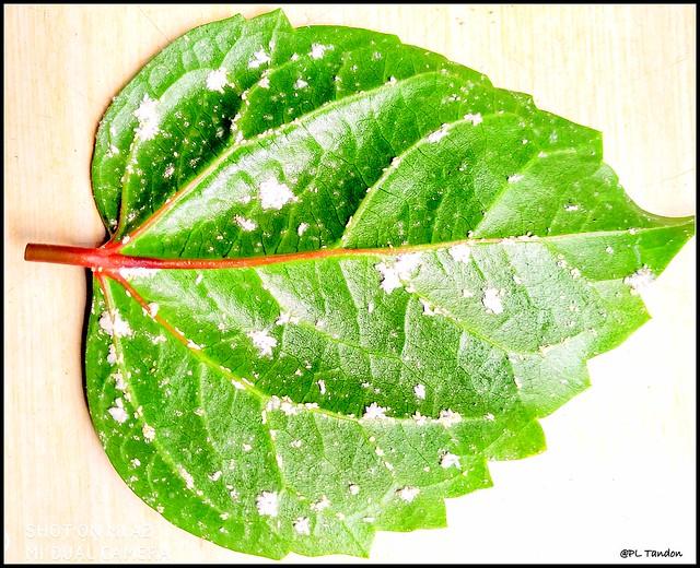 Hibiscus mealybug infestation