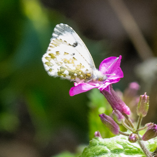 Orange tip butterfly, female, honesty flowers