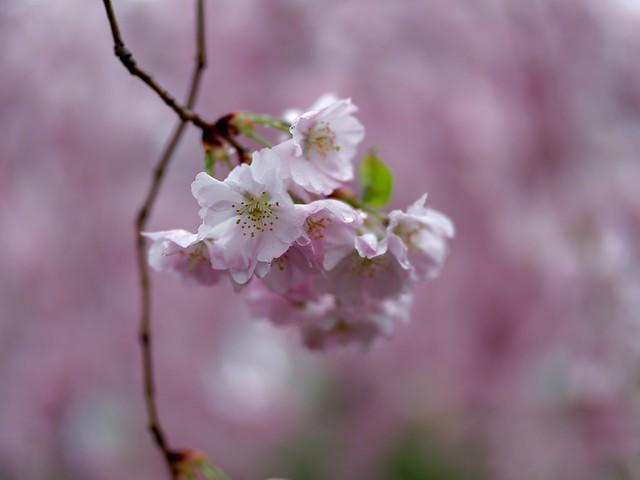210411 Sakura 530 - stock - Flickr