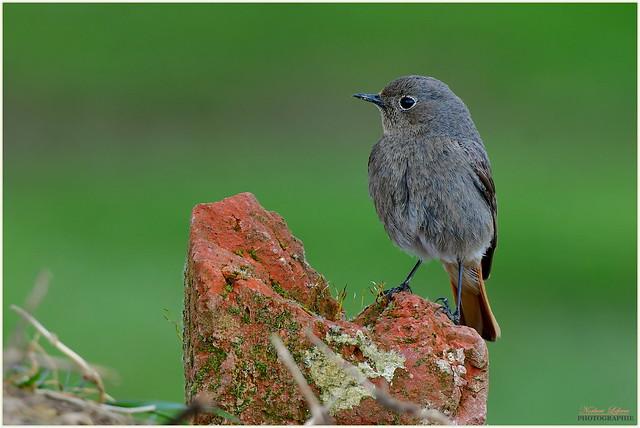 Rougequeue noir ( Phoenicurus ochruros - Black Redstart )