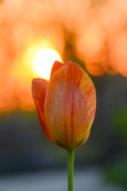 Sunset on tulip.