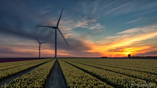 Sunset, windturbines and Tulips
