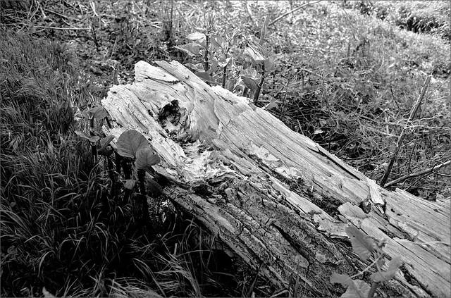 vieux tronc d'arbre