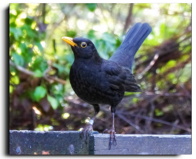 Blackbird...............