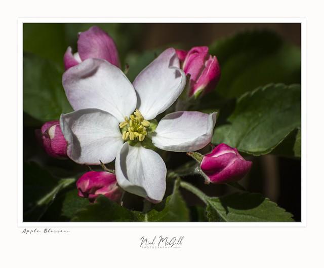 Apple Blossom-8217