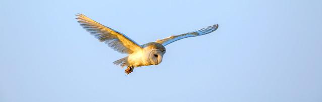 Sunlit Barn Owl