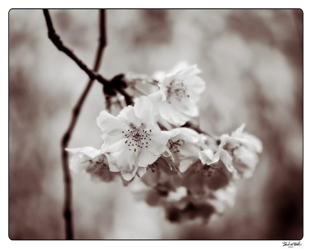 210411 Sakura 530 - mono edit copy - Flickr