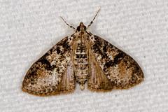 Splendid Palpita Moth