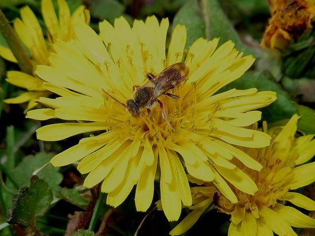 Tiny Mining Bee Feeding On A Dandelion Flower IMG_4943