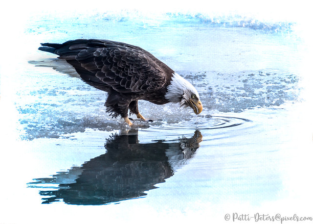 Bald Eagle Catches a Fish at Water's Edge