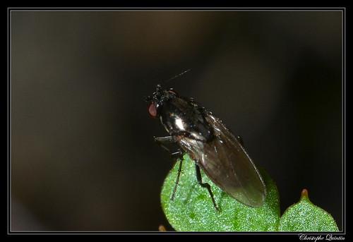 Leptocera sp./Rachispoda sp.