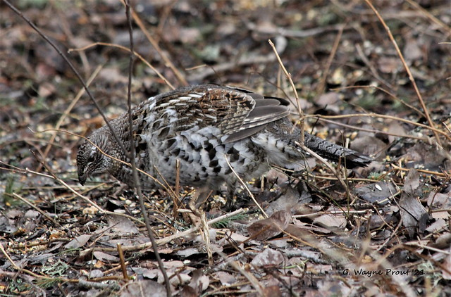 Ruffed Grouse (Bonasa umbellus)
