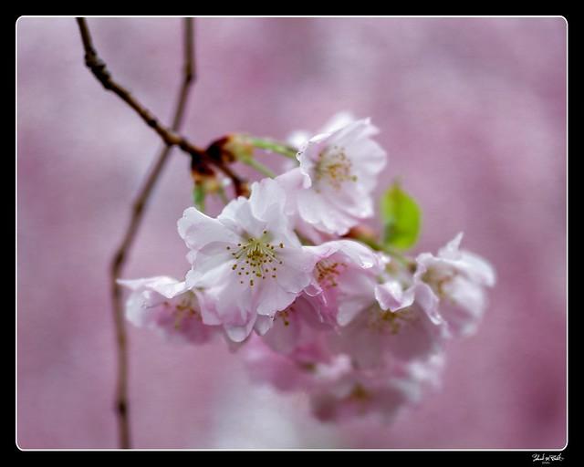 210411 Sakura 530 - color edit - Flickr